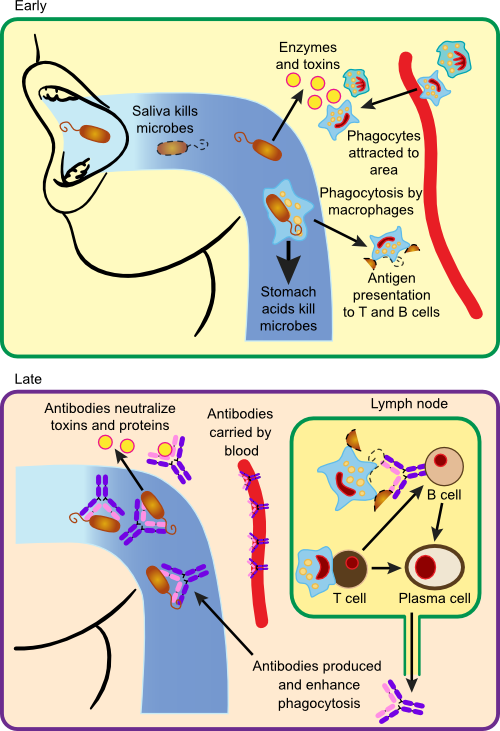 Immune response to bacterial infection with S. pyogenes