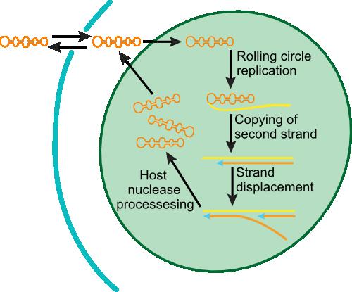 Viroid replication