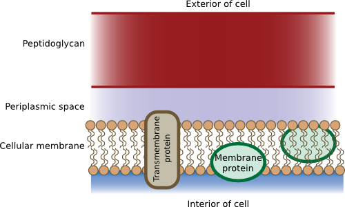 The gram-positive cell wall