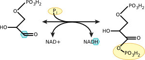 Oxidation of glyceraldehyde 3-phosphate to 1,3 bisphophoglycerate