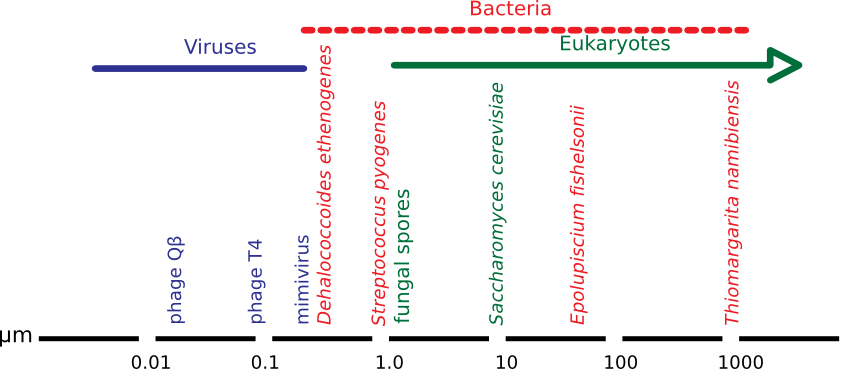 The relative size of microbes