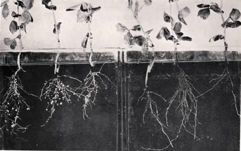 A leguminous plants.
