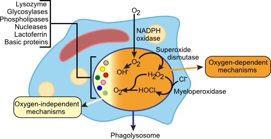 Killing Mechanisms of Phagocytes