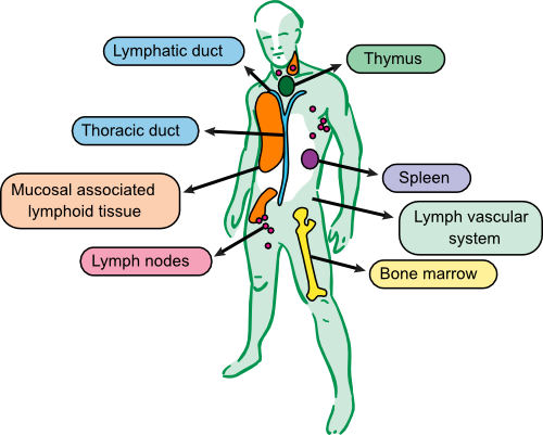 The tissues of the immune system