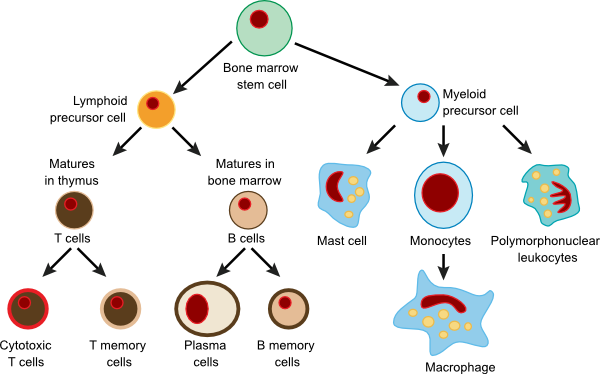 Types of immune cells and their progenitors