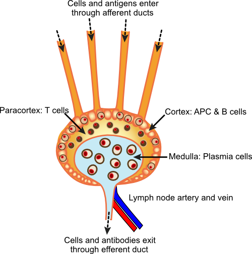 A diagram of a lymph node