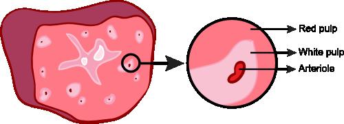 Anatomy of the spleen
