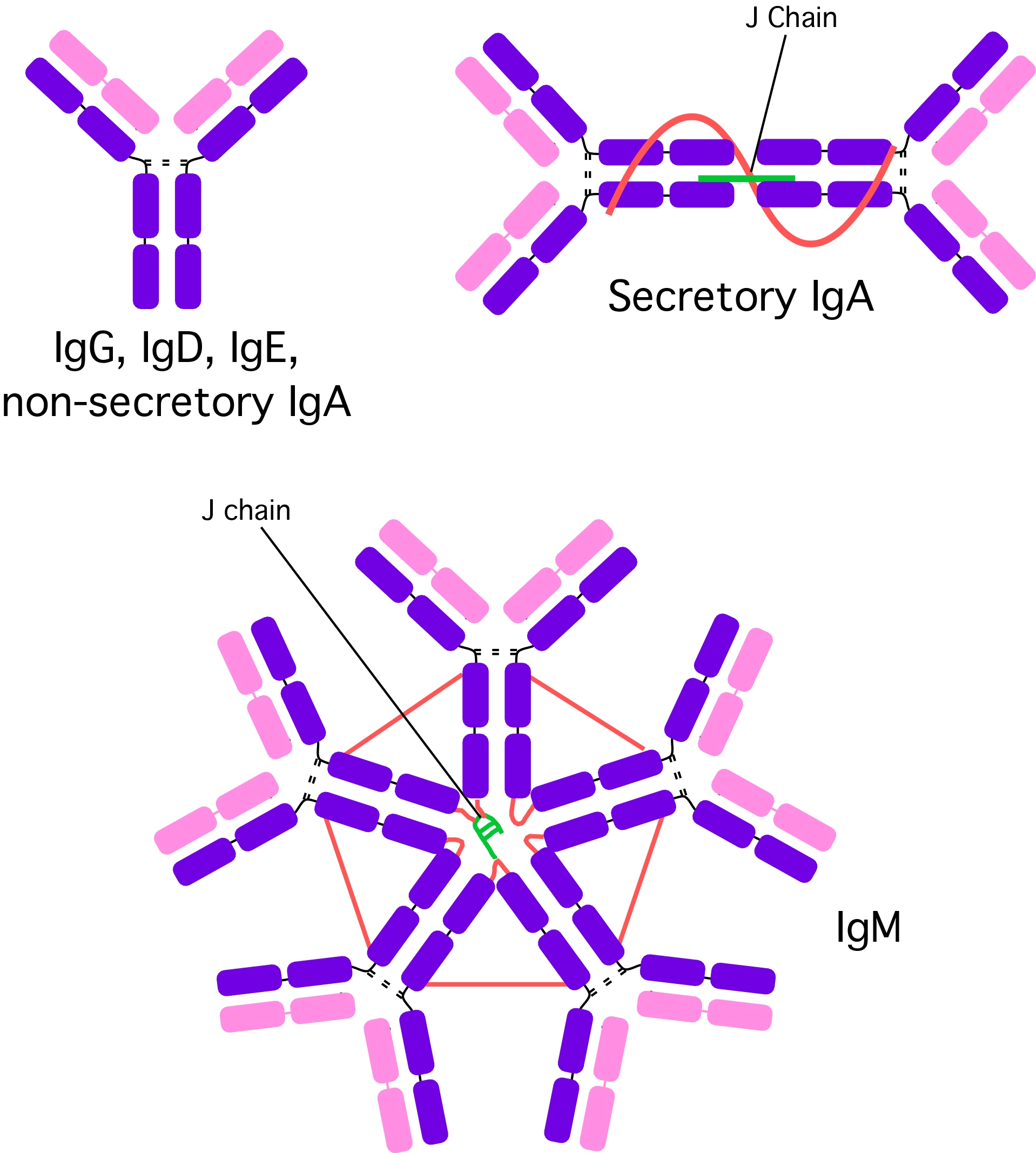 Different Antibody Types