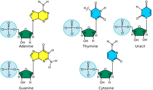 The structure of nucleotides