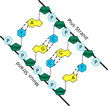 A schematic of the nucleic acid polymer