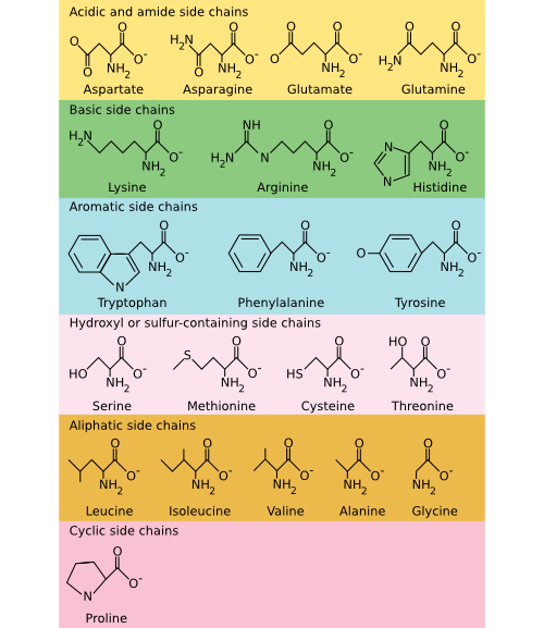 The common amino acids