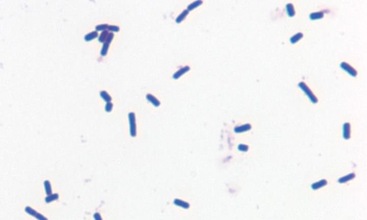 A gram-positive bacterium