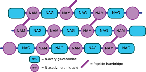 A cartoon of the peptiodglycan mesh