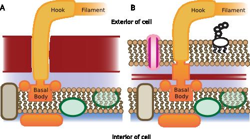 Flagella structure