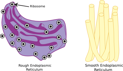 The endosplasmic reticulum