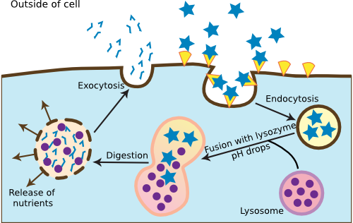 The process of endocytosis