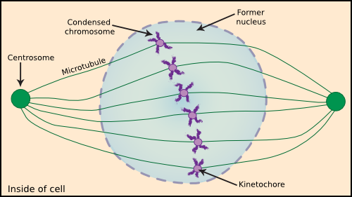 A eukaryotic cell in the middle of mitosis