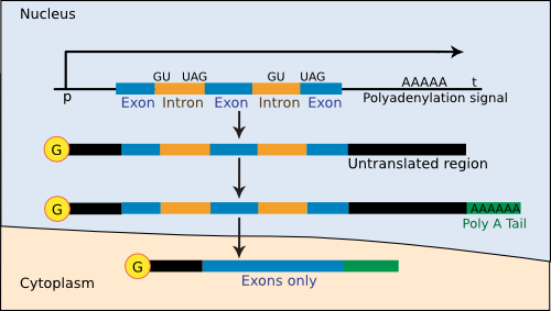 The steps of gene expression in eukaryotes