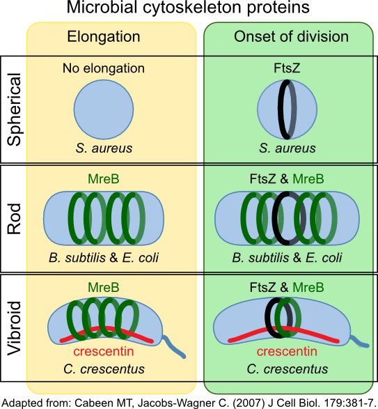 Cytoskeleton proteins and cell shape