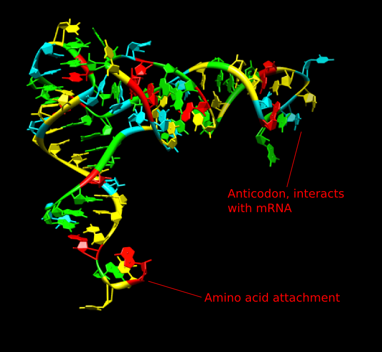 The structure of tRNA